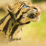 chulane-leopard-1.jpg